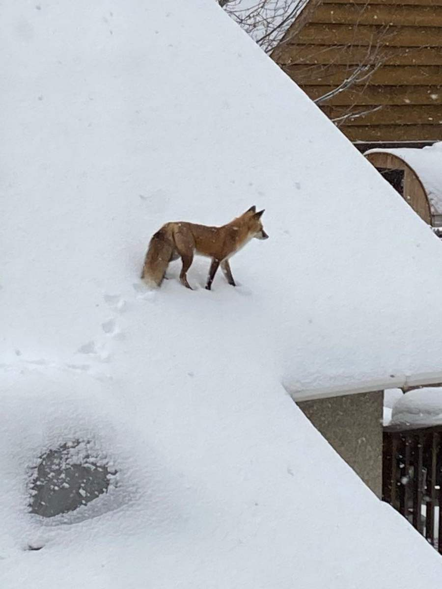 Photo of fox on the rooftop of Mary Nelsestuen's house. Photo shot on Nov. 12 by Cameron Smith.